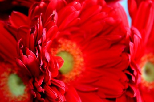 Gerber Daisies - Red